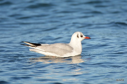 Black-headed Gull - Offshore, Guernsey 28-12-2016 14-40-14
