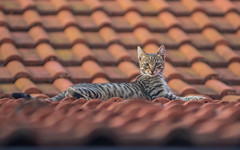 kittens (34) (Vlado Ferenčić) Tags: animals animalplanet catsdogs cats kitty kittens zagorje hrvatska croatia nikond600 nikkor8020028