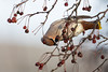 Waxwing (GaseousClay1) Tags: waxwing bombycillagarrulus avian bird nature wildlife worcestershirewildlifetrust plumage habitat canon600mmf4 ocellsedós silkehale seidenschwanz ampeliseuropeo tilhi jaseurboréal beccofrusone pestvogel tagarelaeuropeu sidensvans свиристель