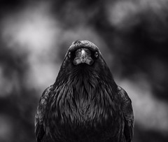 Welcome to the brotherhood (Tracey Rennie) Tags: bird raven thatssnowonhisbeak alberta icefieldsparkway darthraven