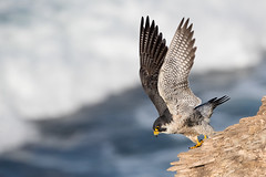 Wings Up! (Patricia Ware) Tags: california canon ef400mmf4doisiiusmlens falcoperegrinus handheld pacificocean palosverdespeninsula peregrinefalcon ©2017patriciawareallrightsreserved unitedstates us specanimal
