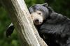 Helarctos malayanus (JGOM) Tags: netherlands zoo arnhem nederland burgers burgerszoo dierentuin dierenpark sunbear helarctosmalayanus burgersdierenpark