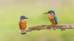 Couple (Andrew Haynes Wildlife Images) Tags: this is andrew stunning capture