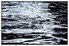What Lies Beneath (taborchichakly) Tags: ocean sea wild blackandwhite bw color eye fall nature wet water monochrome animal fauna swimming river dark season costarica natural bokeh ominous threatening environmental monotone bumpy calm estuary depthoffield crocodile tamarindo northamerica environment weathered marsh framing vignette speckled lurking guanacaste wetseason wildlifephotography estuarinecrocodile
