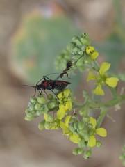La hormiga y la chinche (Dr Zoidberg) Tags: insectos macro zuiko50mmmacro