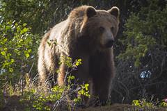 Grizzly Bear (1 of 7) (Snappy_Snaps) Tags: bear canada animal wildlife yukon whitehorse grizzlybear northerncanada exploreyukon