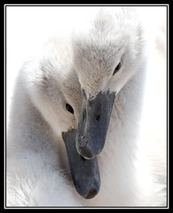 It's called love.... (Carl Bovis Nature Photography) Tags: uk england baby cute love nature swan close cygnet cuteness closeness mute cygnets northsomerset muteswan beaks chewvalleylake carlbovisnaturephotography