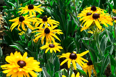 La nature est vivante (- Ali Rankouhi) Tags: park summer flower water yellow fire iran july tehran       2015 1394