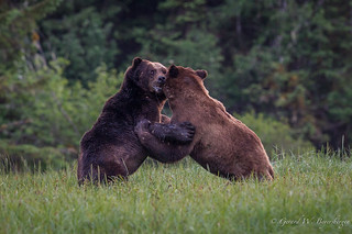 Grizzly Bear - Males Fighting
