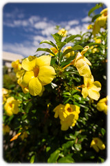 Yellow Mandevilla at Newstead (Craig Jewell Photography) Tags: flower yellow architecture iso100 bright brisbane 40mm mandevilla f28 sheds newstead 2015 woolsheds vernonterrace ¹⁄₃₂₀sec ‒1ev canoneos1dmarkiv ef40mmf28stm filename20150815083458x0k0022cr2