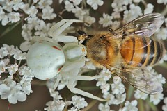 IMG_7112 (Roving_photographer) Tags: france spider crab bee prey predator aquitaine misumena misumenavatia castillonlabataille