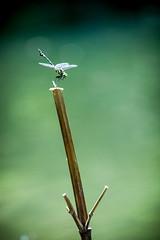 IMG_4853 (Ali shih) Tags: ex canon eos dragonfly sigma os apo  dg  70200mm  hsm  apsc 450d
