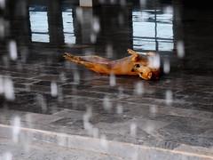,, K9 Aerobics  ,, (Jon in Thailand) Tags: dog reflection rain tile nikon upsidedown mama jungle raindrops nikkor downpour k9 monsoons d300 175528 thelittledoglaughed abandonedabusedstreetdogs littledoglaughedstories thedogpalace