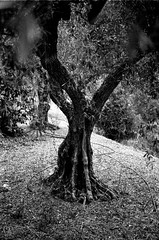 Olive VIII (ma_ps_) Tags: blackandwhite bw tree film nature contrast rural 35mm spain bokeh farm bessa trix olive highcontrast study analogue agriculture bessar voigtlnder