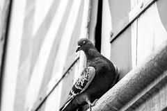 ...ThePigeonWink... (7H3M4R713N) Tags: street blackandwhite bw bird switzerland pig blackwhite suisse swiss pigeon neuchtel