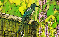 elster_01a-08072016_16'04 (eduard43) Tags: tiere animals vogel bird elster rabenvogel ravenbird natur nature cartoon