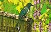 elster_01a-08072016_16'04 (eduard43) Tags: tiere animals vogel bird elster rabenvogel ravenbird natur nature cartoon