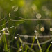 Dew with bokeh