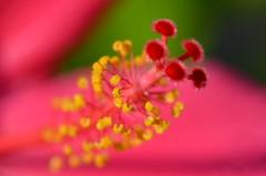 Macro hibiscus (dfromonteil) Tags: pink yellow green rose vert jaune colors couleurs macro bokeh flower fleur heart coeur light lumière nature plant plante vegetal wow