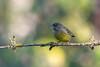 Grincheux (Jacques GUILLE) Tags: 09 ariège carduelischloris domainedesoiseaux europeangreenfinch fringillidés mazères passériformes verdierdeurope bird oiseau