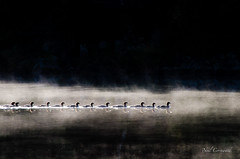 Ducks in a Row (Neil Cornwall) Tags: 2016 algonquin ontario september camping canoeing mancamp bigporcupinelake canada ngc npc