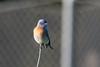 DSC_3217.jpg Western Bluebird, UCSC Great Meadow (ldjaffe) Tags: 2016birdcount ucscgreatmeadow westernbluebird