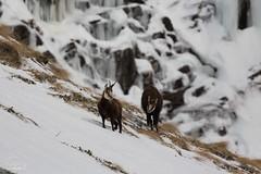 ZF2016_14782 (aa_zf717) Tags: animali camosci rupicapra ceresole mammiferi mammals granparadisonationalpark parconazionaledelgranparadiso fauna