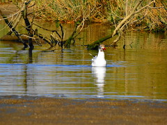 gaviota (abel arevalo lagos) Tags: ave belleza maravillas humedal santuario arauco