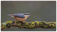 Sittelle torchepot (guiguid45) Tags: nature sauvage oiseaux bird passereaux loiret d810 nikon 500mmf4 sittelletorchepot sittaeuropaea sittelle