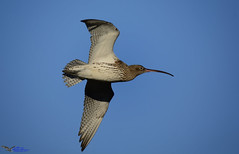 Curlew . (Explored) (spw6156 - Over 5,300,191 Views) Tags: curlew iso 640cropped copyright steve waterhouse explored