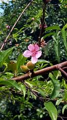 Duraznos (IDIAY) Tags: flor durazno rosado arbol