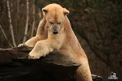 Tierpark Berlin 26.12.2017 075 (Fruehlingsstern) Tags: eisbär polarbear wolodja rothund nashorn stachelschwein tierparkberlin canoneos750 tamron16300