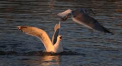 The Thief 2 (Nephentes Phinena ☮) Tags: elbe hamburg nikond300s schulau willkommhöft gull bird birds animal