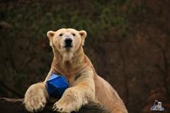 Tierpark Berlin 26.12.2017 065 (Fruehlingsstern) Tags: eisbär polarbear wolodja rothund nashorn stachelschwein tierparkberlin canoneos750 tamron16300