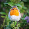 Robin Redbreast (jess_burge) Tags: robin red bird iona nature