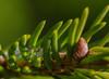 Tannennadeln mit Eis (Sven Markow) Tags: schärfentiefe organisches muster pflanze makro blatt laub eis winter outdoor nahaufnahme nikon d5300 tanne green grün nadel nature