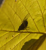 2016_11_0385 (petermit2) Tags: leaf autumn pottericcarr potteric doncaster southyorkshire yorkshirewildlifetrust wildlifetrust ywt backlit fly