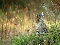Cat watching (pongo 2007) Tags: cat tabby pongo2007 tigrotto