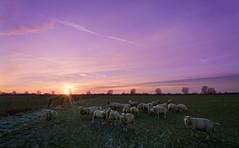 Sheep @ sundown (RigieNL) Tags: sony sonya6000 zonsondergang sundown sunset nature landscape limburg holland nederland netherlands gennep
