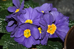 01-IMG_7814 (hemingwayfoto) Tags: blühen blüte blau blume frühblüher frühlingsblume garten gartenblume gewächs natur pflanze primel primulaacaulis