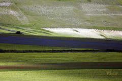 _UM14733nsR (Foto Massimo Lazzari) Tags: fioritura lenticchie papaveri fiordaliso fiori