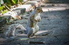 Squirrel (sabinesie) Tags: squirrel animal kingdome eichhörnchen scoiattolo südafrika southafrica kapstadt capetown sudafrica africa afrika boxing sunnyday outdoor sabinesie 2015