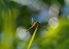 golden dragonfly (*Millie* (Catching up slowly)) Tags: golden dragonfly palmtree leaf bokeh green outdoor nature amateurphotography animalplanet beautiful canon eos rebelt6i closeup colors depthoffield efs55250mmf456isstm