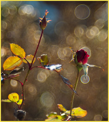Trompeuses apparences🌹Appearances are deceptive (www.nathalie-chatelain-images.ch) Tags: fleurs flowers rose rosa jardin garden hiver winter profondeurdechamp bokeh dof trioplan100mmf28 nikon