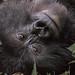 Blackback mountain gorilla