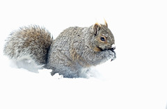 Squirrel in the Snow (CCphotoworks) Tags: wildlife winter snow tail fluffy furry smallanimal animal greysquirrel squirrel