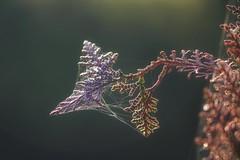 Aria di primavera (1laura0) Tags: macro rugiada ragnatela foglia cipresso alba mattina primavera spring