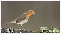 jojo (guiguid45) Tags: nature sauvage oiseaux bird passereaux loiret d810 nikon 500mmf4 rougegorge jojo erithacusrubecula