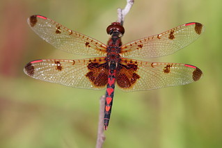 Dragonfly with a heart