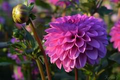 dreaming of Summer... (martinap.1) Tags: nature flower pink nikon d3300 1855mm